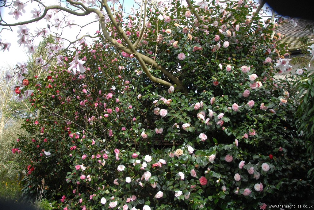Camellia diisplay