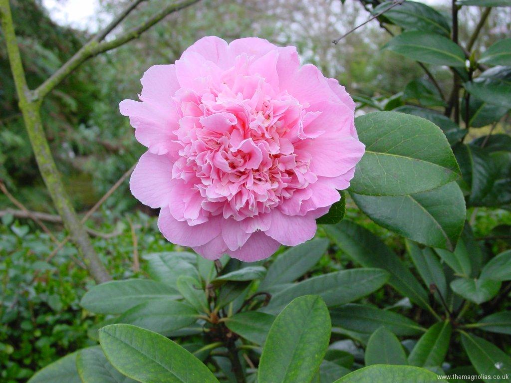 Camellia japonica var.