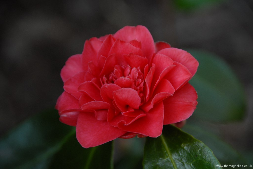 Camellia japonica 'Aarons Ruby'