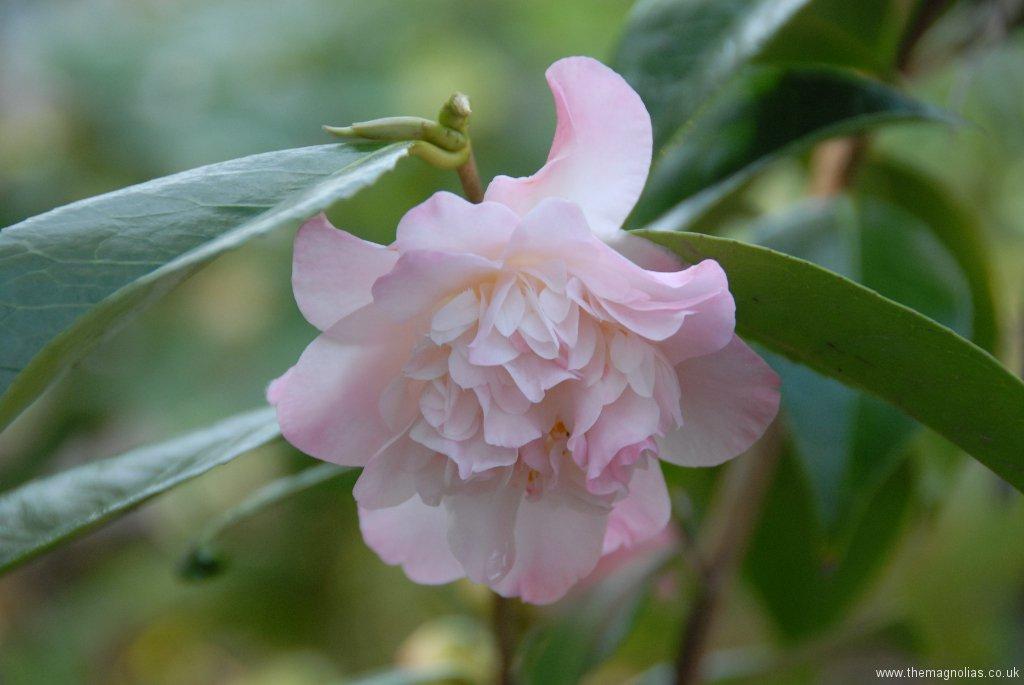 Camellia japonica 'Balet Dancer'