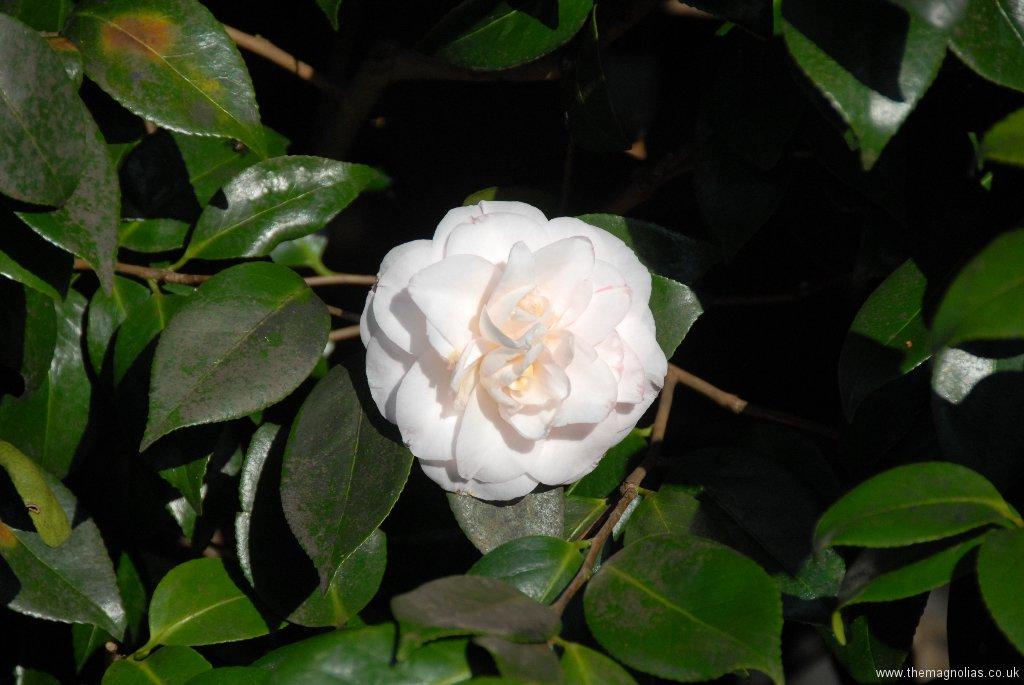Camellia japonica cv. pale pink double