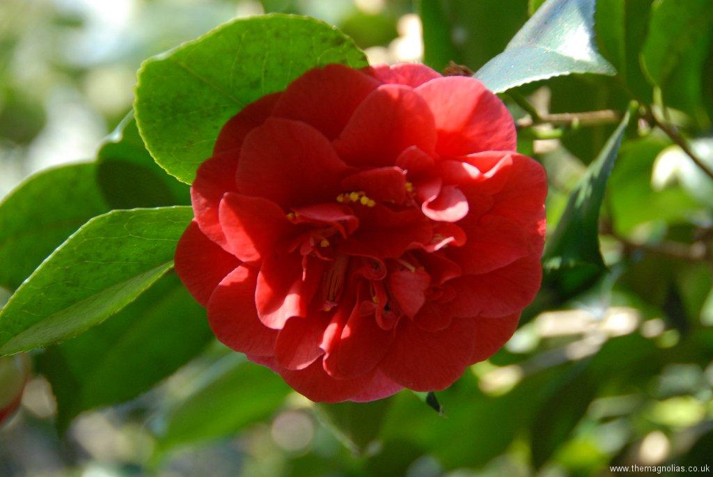 Camellia japonica cv. red