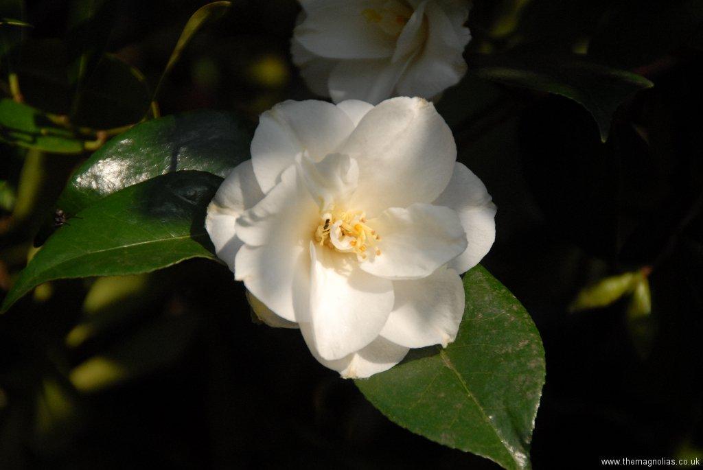 Camellia japonica cv. semi double white