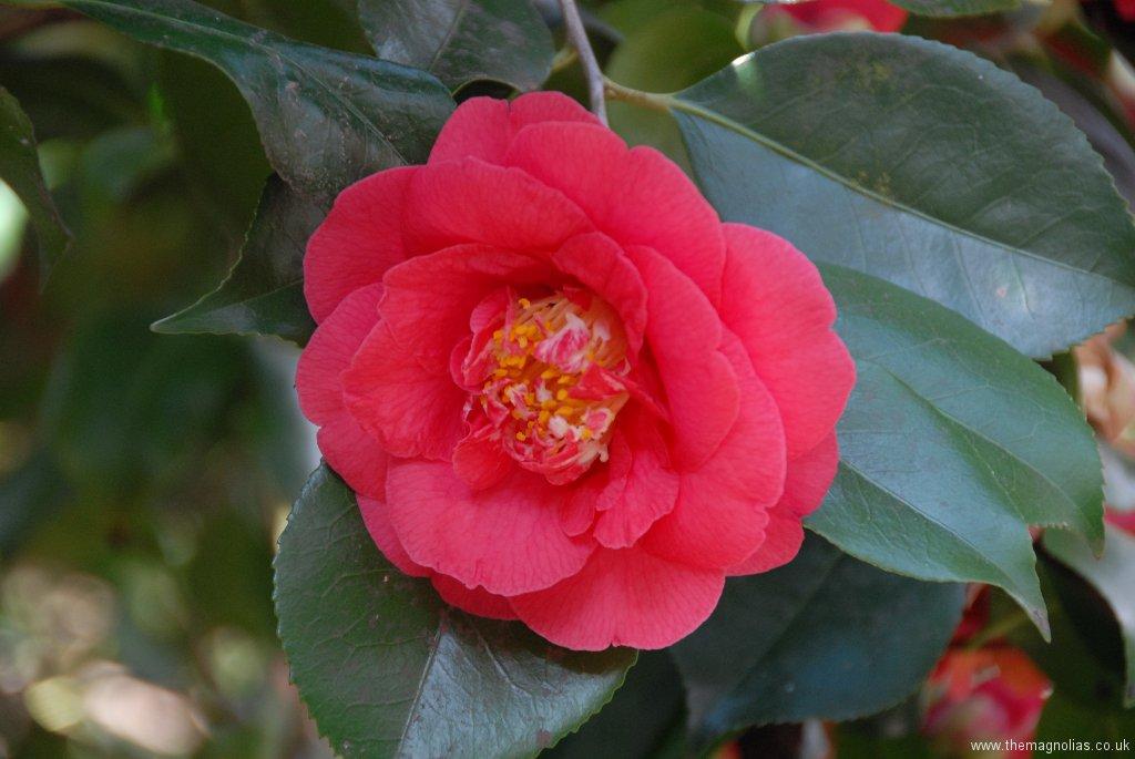 Camellia reticulata \'Captain Rawes\'