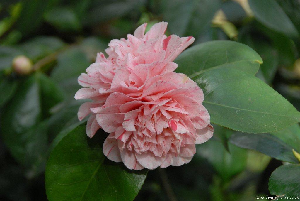 Camellia japonica cv.