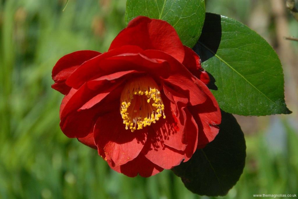 Camellia japonica 'San Dimas''