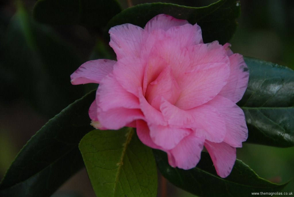 Camelliax williamsii \'Waterlily\'