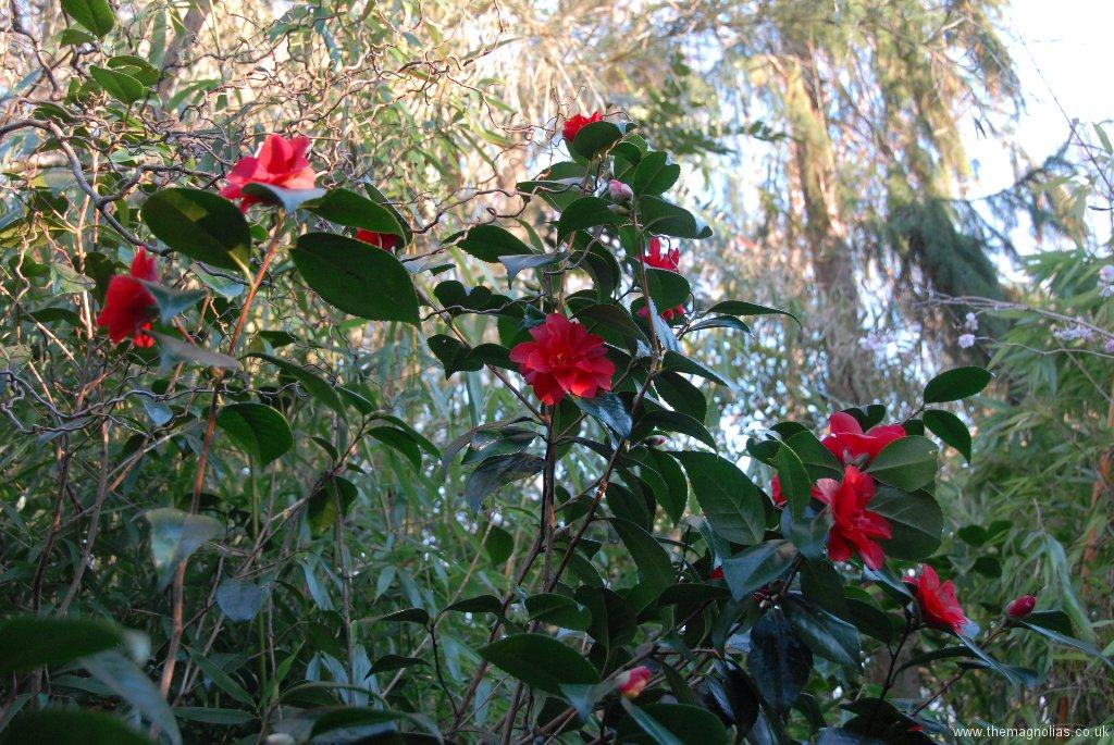 Camellia japonica \'Wildfire\'