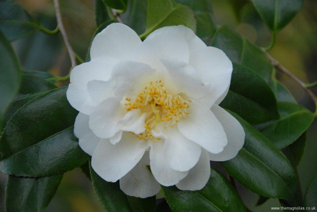 Camellia japonica \'Yuki Botan\'