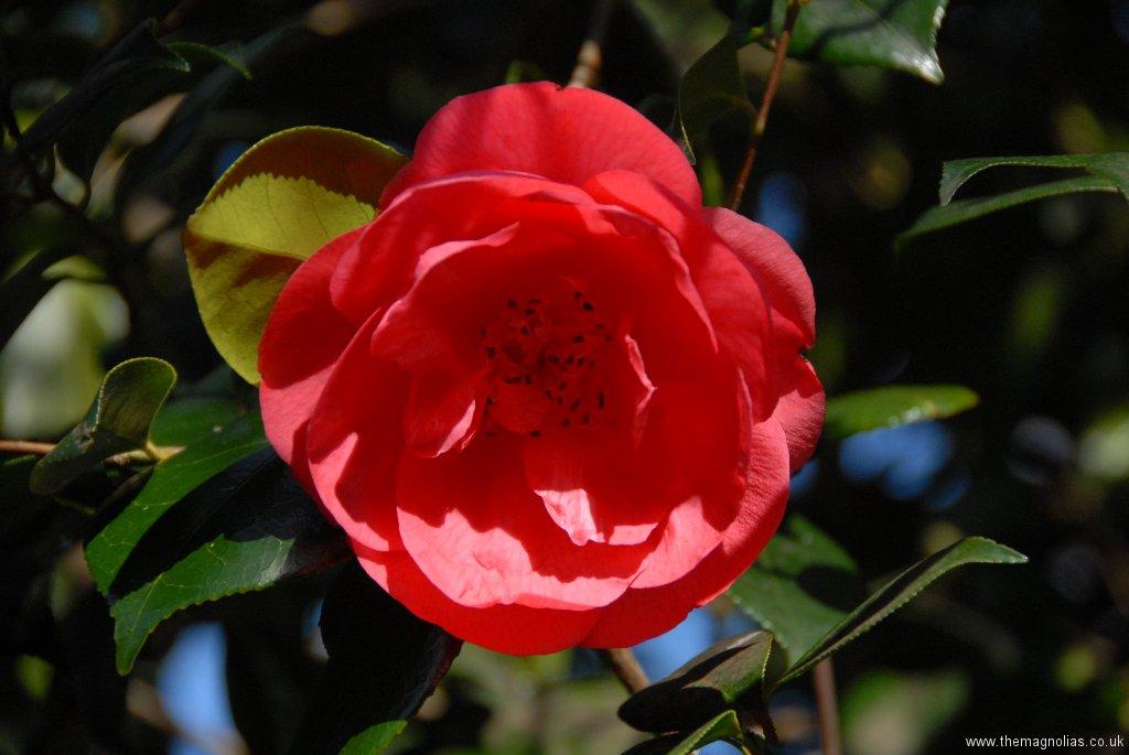 Camellia reticulata cv.