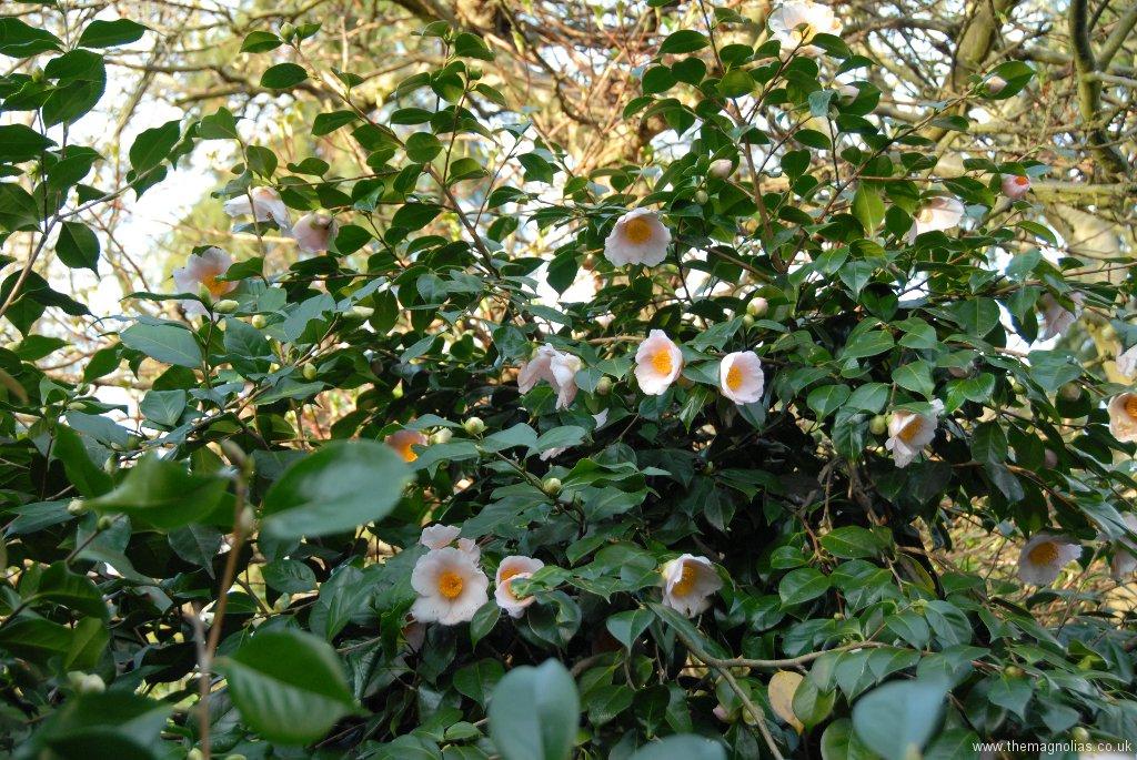 Camellia japonica \'Shin Ake Bono\'