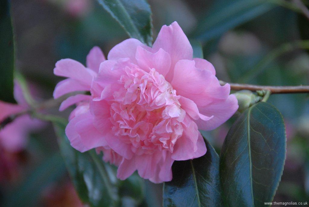Camellia x williamsii cv.