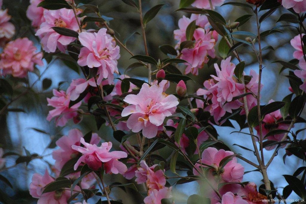 Camellia x williamsii \'Donation\'