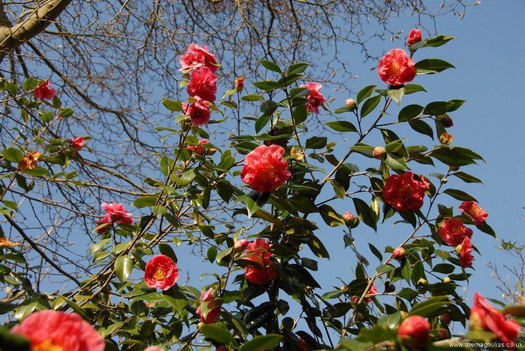 Camellia x williamsii \'George Blandford\'