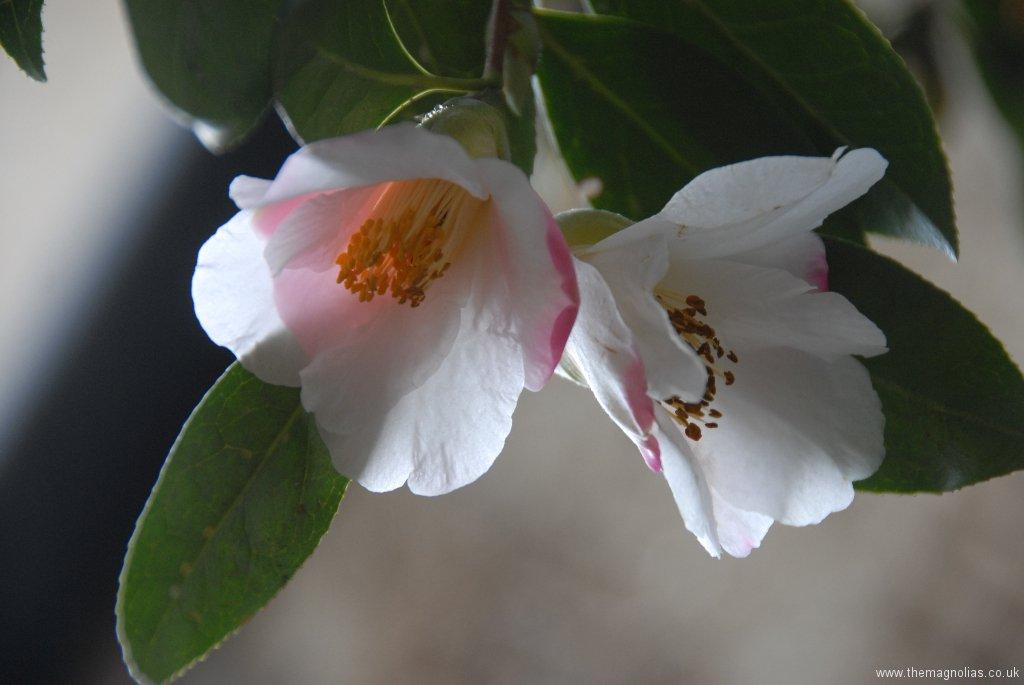 Camellia x williamsii \'Hiraethlyn\'