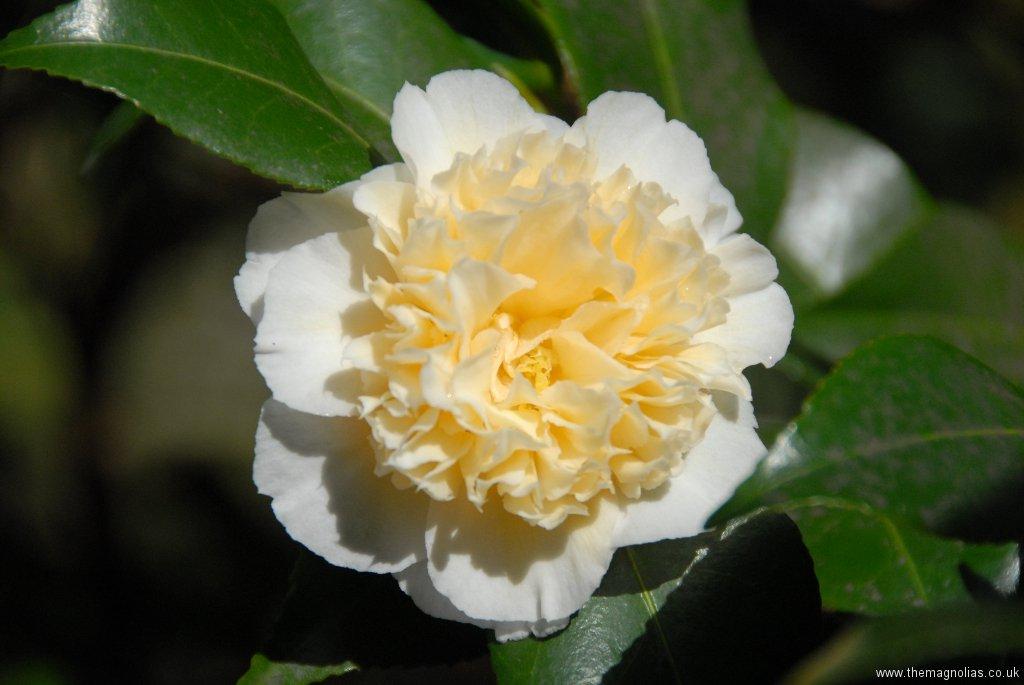 Camellia x williamsii \'Jury\'s Yellow\'