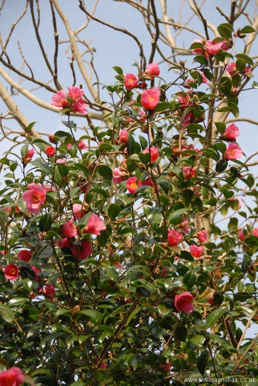 Camellia x williamsii \'St. Ewe\'