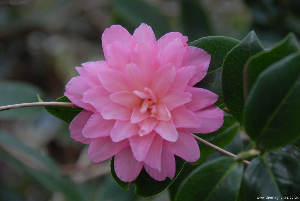 Camellia x williamsii \'Warterlily\'