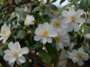 Camellia japonica 'Lily Pons'