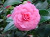 Camellia japonica 'Pink 'Perfection'