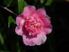 Camellia x williamsii \'Balet Queen Variegated\'