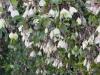 Clematis cirrhosa 'Wisley-cream'