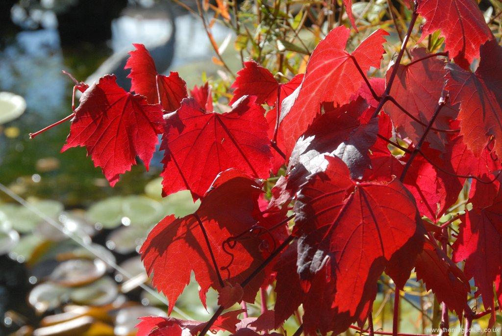 Vitis vinifera 'Setchley Red'