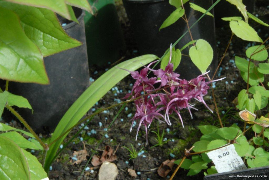 Epimedium 'Kodai Murasaki'