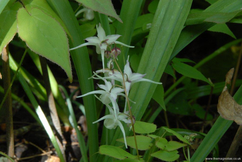 Epimedium grandiflorum 'Lilac Seedling' ex Washfields Nursery