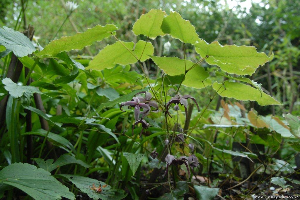 Epimedium acuminatum 'Night Mistress'