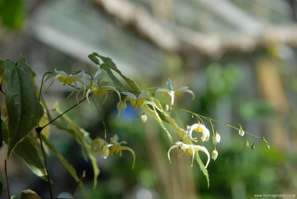 Epimedium acuminatum Yellow Flowered Form