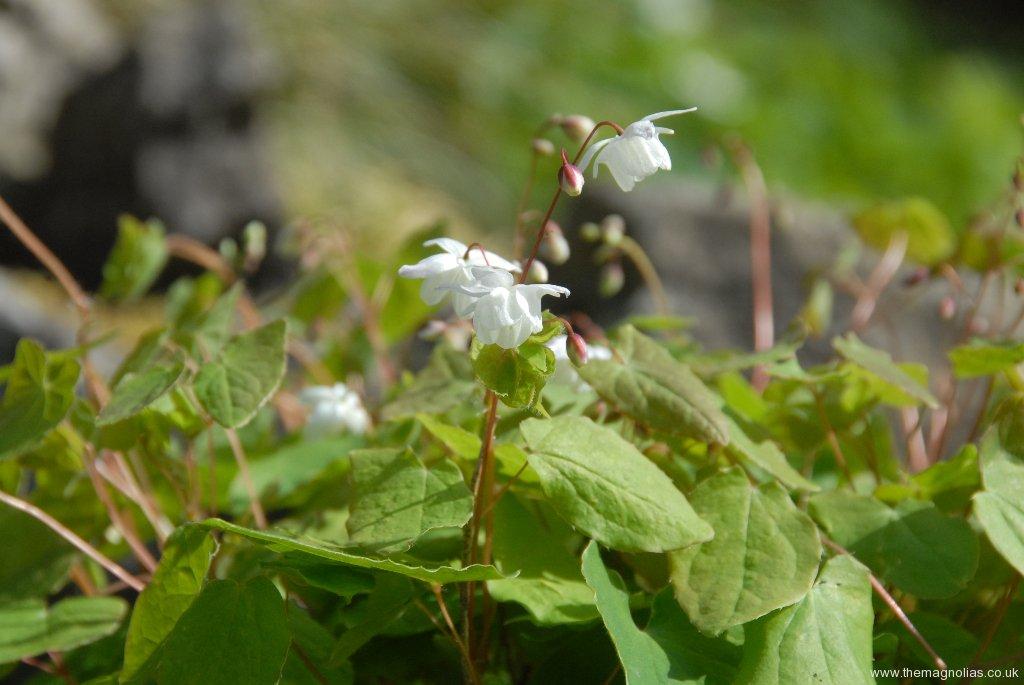 Epimedium 'Alabaster' ('Conalba')