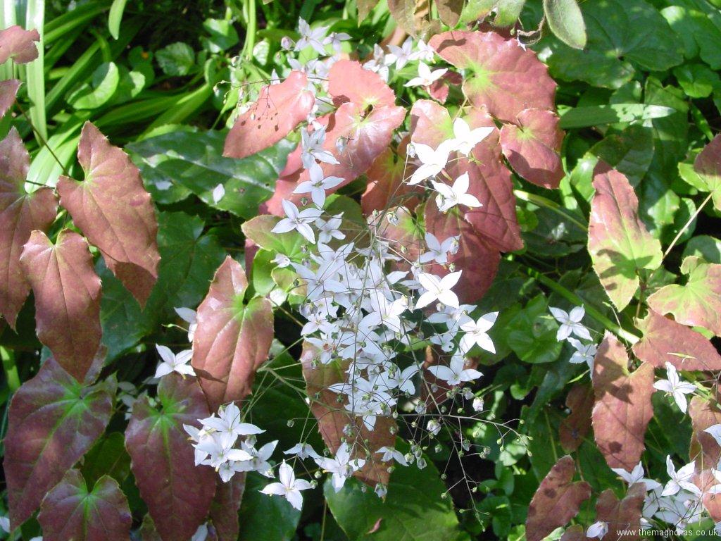 Epimedium 'Amanogawa'