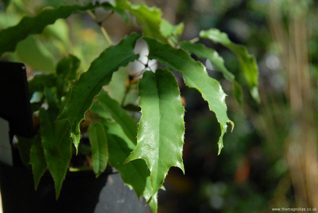Epimedium baieali-guizhouense foliage