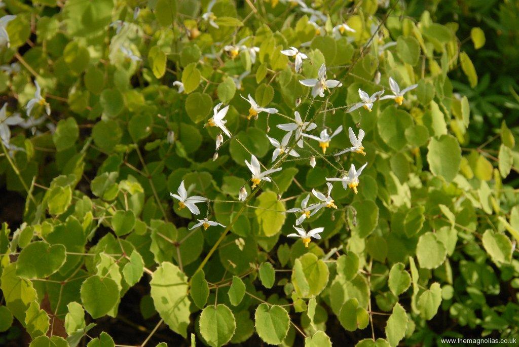 Epimedium brevicornu rotundatum