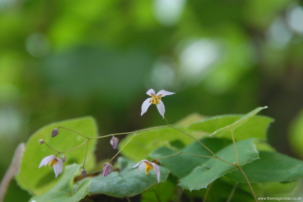 Epimedium elachiphyllum