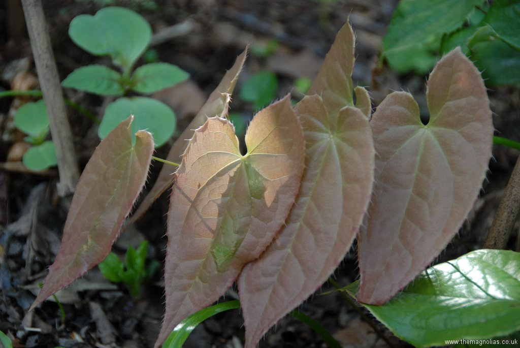 Epimedium franchettii 'Brimstone Butterfly' foliage