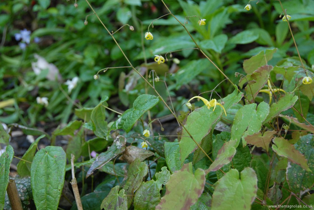 Epimedium \'Golden Eagle\'