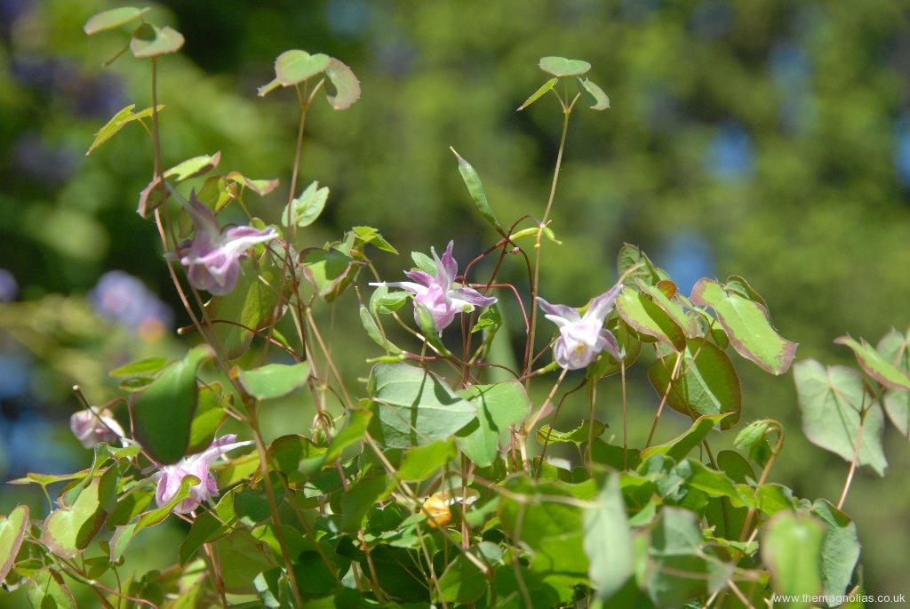 Epimedium grandiflorum lilac pink form