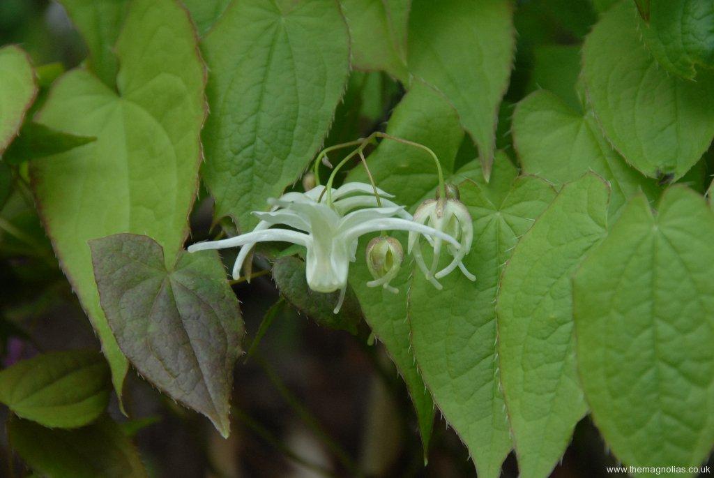 Epimedium grandiflorum sub-sp.koreanum