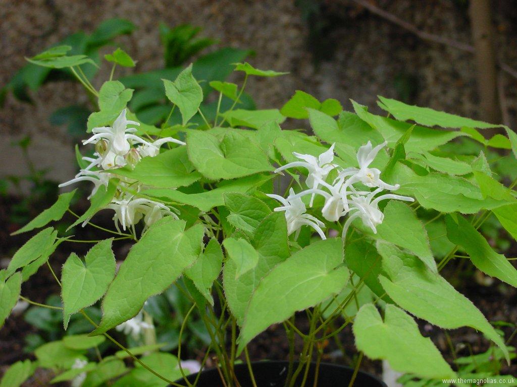 Epimedium grandiflorum 'White Queen'