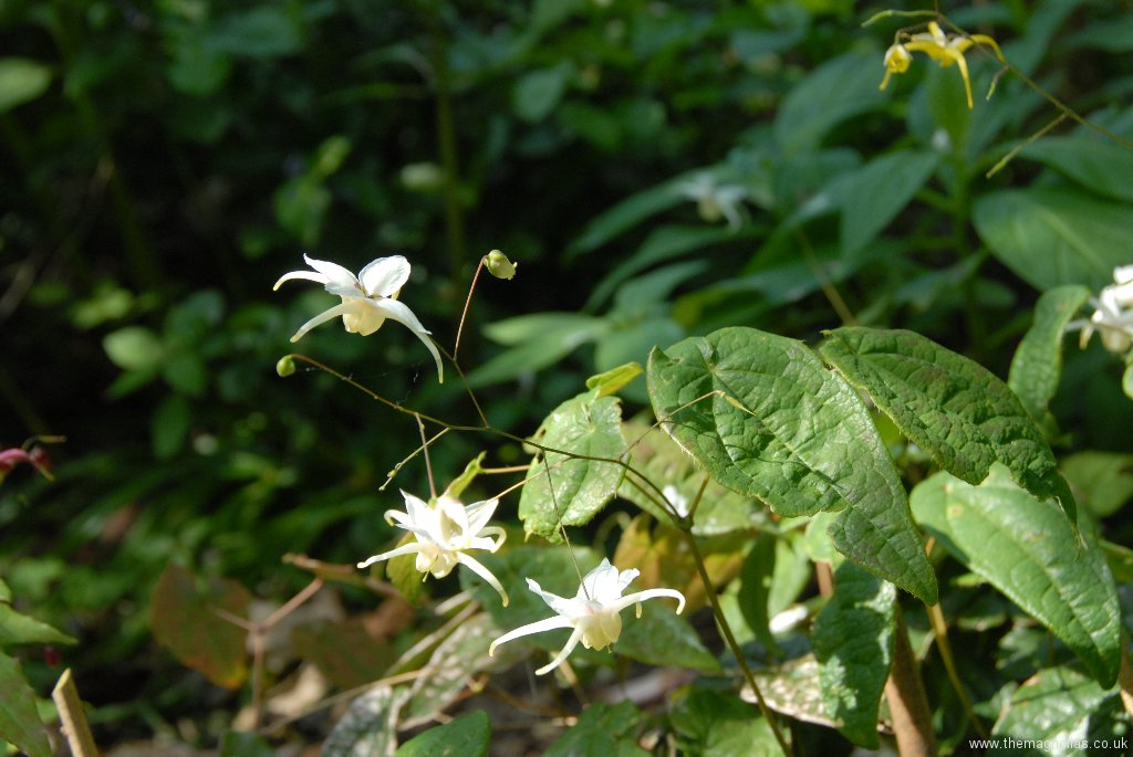 Epimedium latisepalum