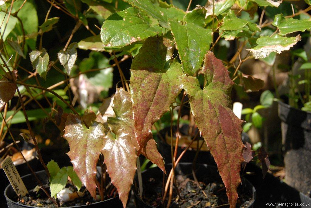 Epimedium 'Path Finder' new foliage indicating possible male parent of E.wushanense 'Caramel'