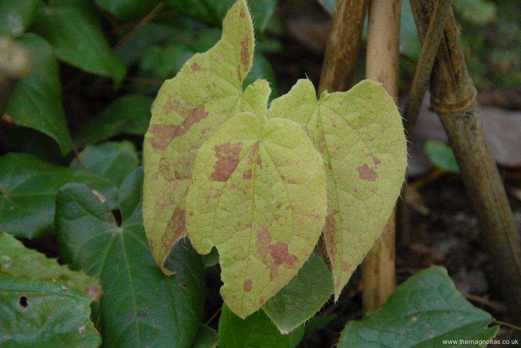 Epimedium species from Jainxi -new leaves - from Edrum Nurseries