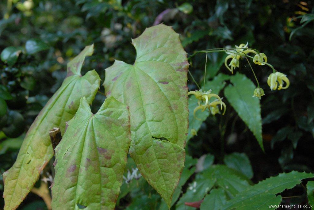 Epimedium Species Af. chlorandrum from Europa Nursery