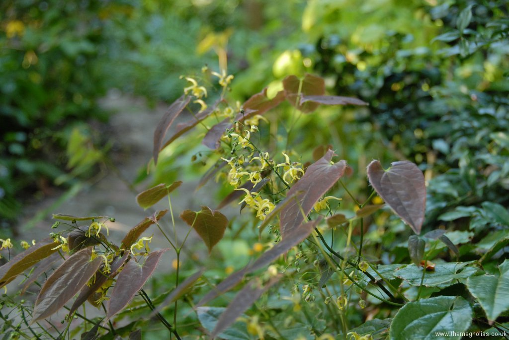 Epimedium species aff. fangii