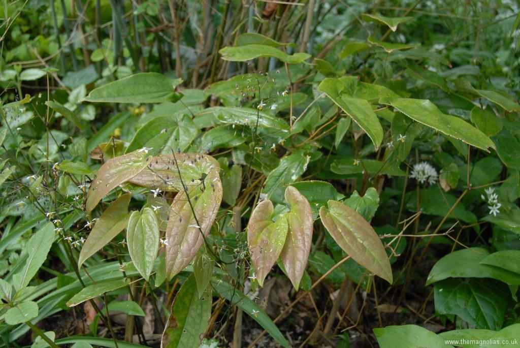 Epimedium Species from Chen Yi like a robust E. sagittatum