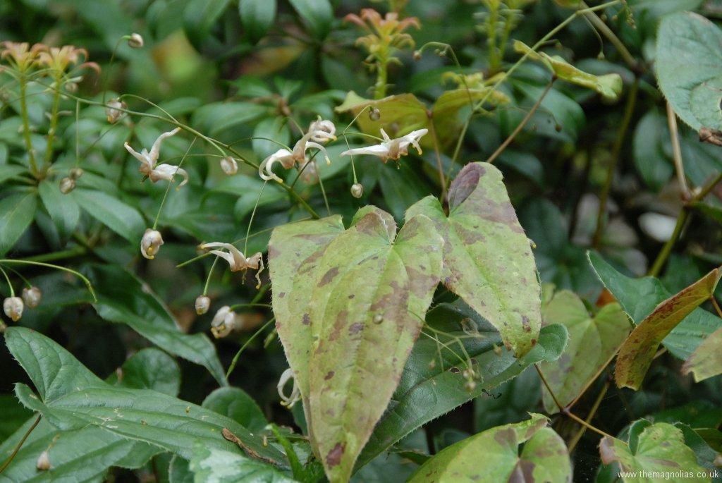 Epimedium Species from Chen Yi, possibly E. acuminatum