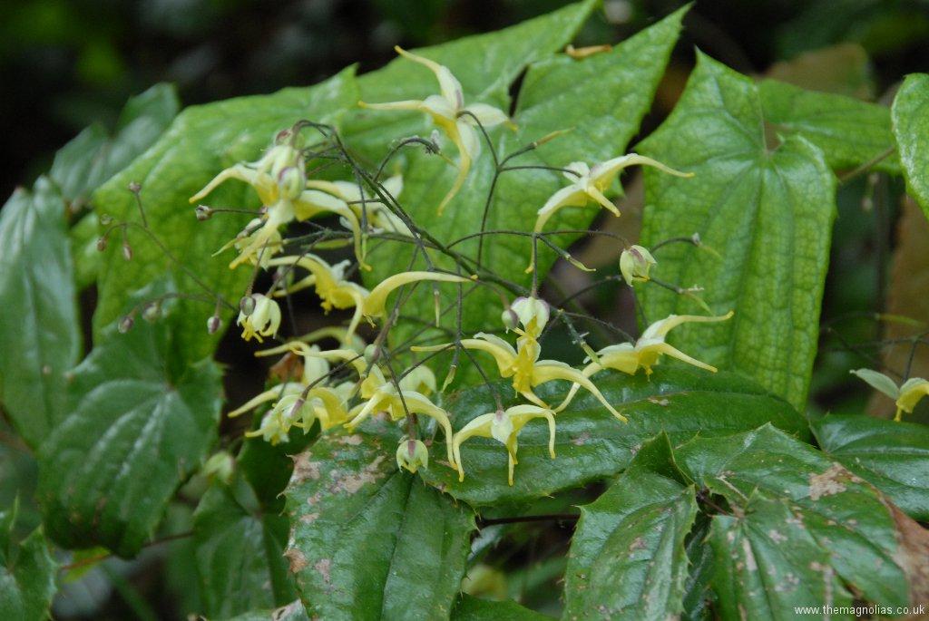 Epimedium wushanense