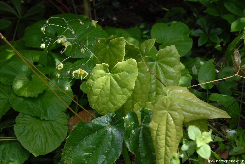 Epimedium wushanense OG.93019